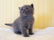Британский короткие волосы Котята для принятия